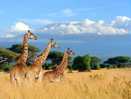 Três girafa, ligado, kilimanjaro, monte, fundo, em, kenya, áfrica Foto de archivo - 75312366