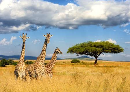 Cerrar la jirafa en Kenia, África Foto de archivo