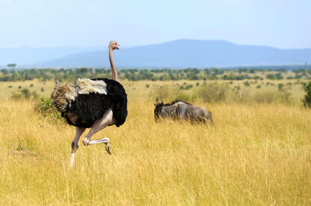 Male of African ostrich (Struthio camelus) in   Kenya Imagens