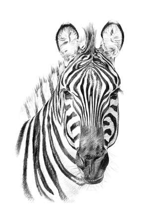 シマウマの鉛筆で手描き下ろしの肖像画。オリジナル、トレースなし