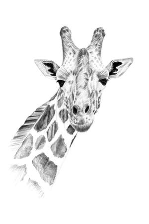 Portrait of giraffe drawn by hand in pencil. Originals, no tracing