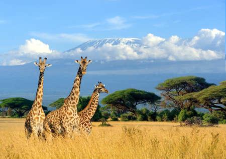 케냐, 아프리카에서 킬리만자로 마운트 배경에 세 기린 스톡 콘텐츠