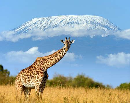 Close giraffe in National park of Kenya, Africa Stock Photo