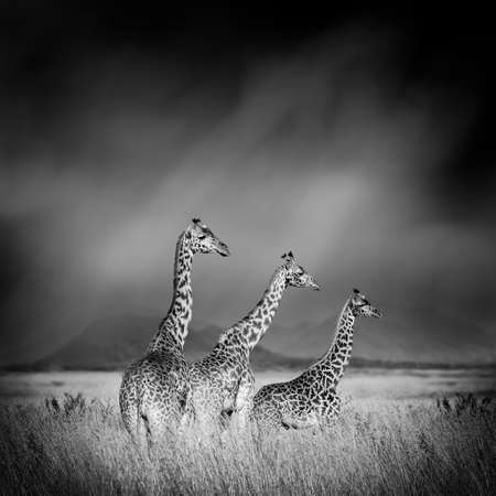 Dramatic black and white image of a giraffe on black background