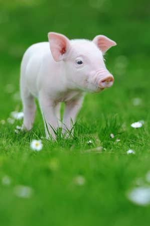 Giovane maiale divertente su un'erba verde della molla