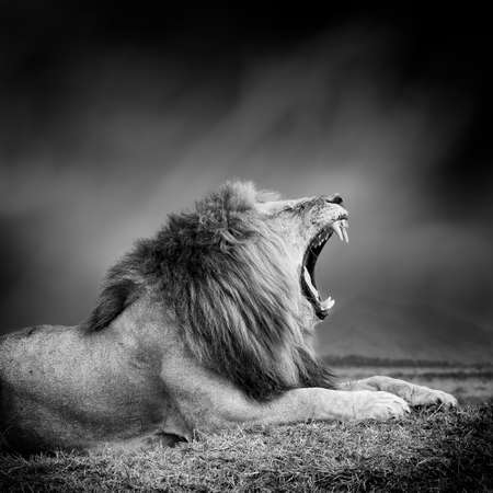 Dramatic black and white image of a lion on black background Stock Photo