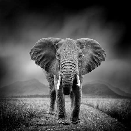 Dramática imagen en blanco y negro de un elefante sobre fondo negro Foto de archivo