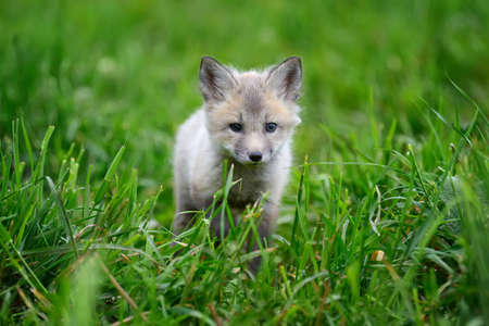 silver fox: Close up baby silver fox in grass