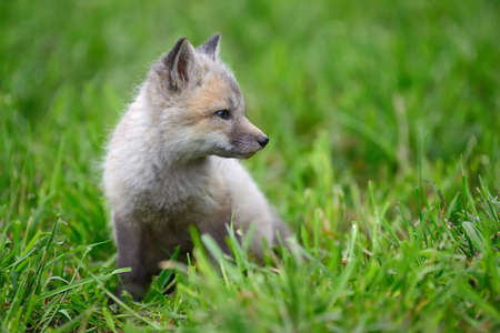 Close up baby silver fox in grass