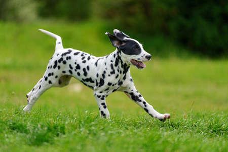 사랑 스럽다 달마 시안 강아지가 여름에 야외에서 스톡 콘텐츠