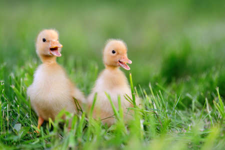 Two little yellow duckling on green grass