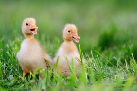 Twee kleine gele eendjes op groen gras Stockfoto
