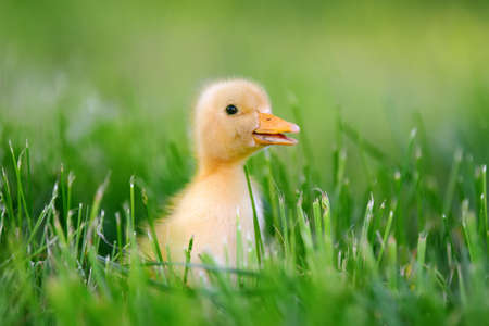 Little yellow duckling on green grass Stock Photo