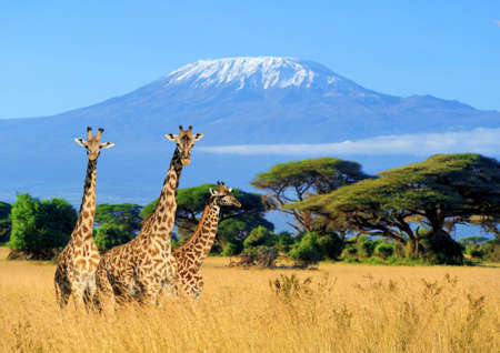 Three giraffe on Kilimanjaro mount background in   Kenya, Africa Фото со стока