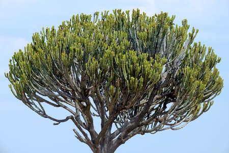 African cactus tree in   Kenya