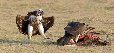 Vulture feeding on a kill.  Kenya