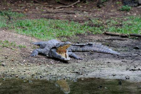 Big crocodile in   Kenya, Africa Stock Photo