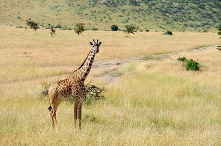long nose: Close giraffe in   Kenya, Africa Stock Photo