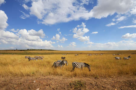 ungulate: Zebra on grassland in Africa,  Kenya Stock Photo