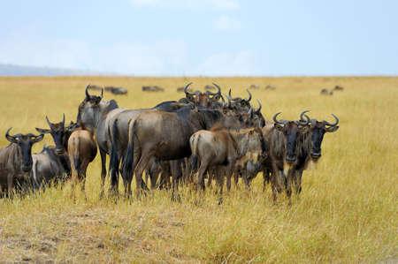 アフリカ、ケニアのサバンナでヌー