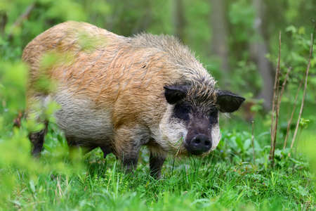 formidable: Wild boar on the forest in springtime