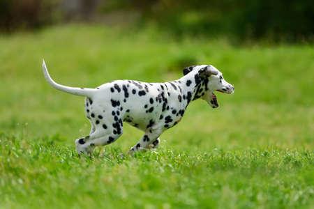 Adorable dalmatian dog outdoors in summer