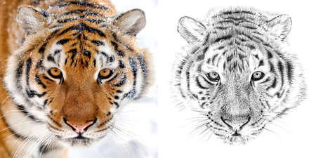 Portrait of tiger before and after drawn by hand in pencil. Originals, no tracing