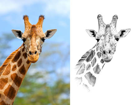 Portrait of giraffe before and after drawn by hand in pencil. Originals, no tracing