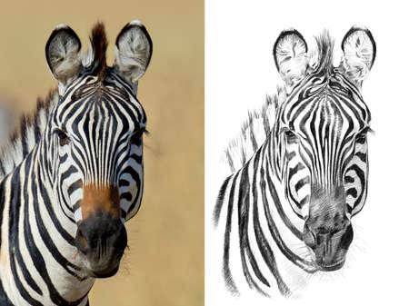 Portret van zebra vóór en na getrokken met de hand in potlood. Originelen, geen tracering Stockfoto