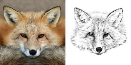 Portrait of fox before and after drawn by hand in pencil. Originals, no tracing Stock Photo