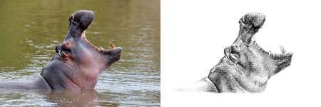 Het portret van hippo vóór en na getrokken langs dient potlood in. Originelen, geen tracering Stockfoto - 81676215