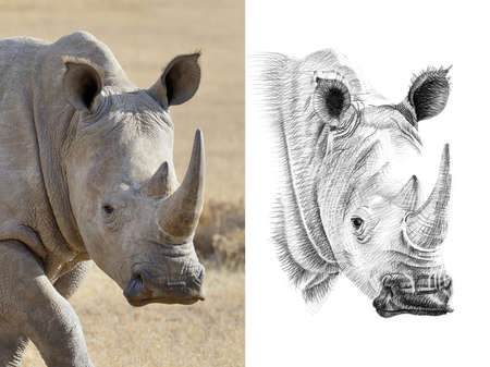 Portrait of rhino before and after drawn by hand in pencil. Originals, no tracing Reklamní fotografie