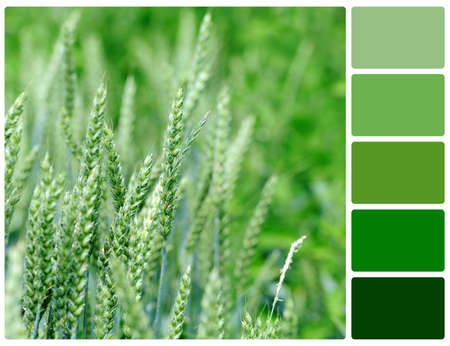 Close view at the young fresh green wheat. Colour palette with complimentary colour swatches
