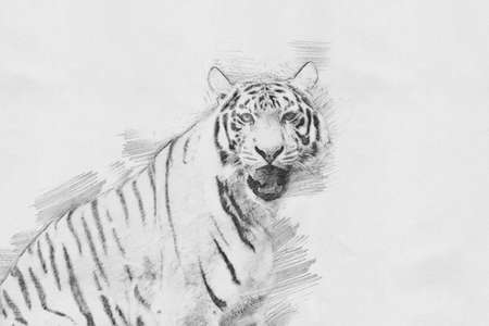 Tiger. Black and white sketch with pencil