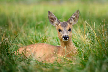 babies: Baby roe deer on green summer meadow Stock Photo