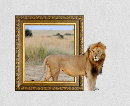 Lion in old wooden frame with 3d effect Imagens - 83433667