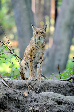 Close Eurasian Lynx in the forest