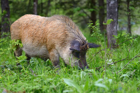 formidable: Wild boar on the forest in summer time Stock Photo