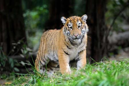 Close up siberian tiger cub in grass