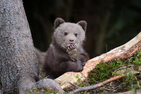 Wild brown bear cub close-up