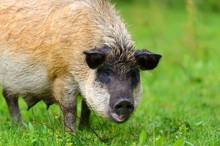 Wild boar on the forest in summer time Stock Photo