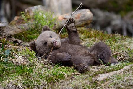Wild brown bear cub close-up Stock fotó - 84808947