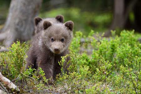babies: Wild brown bear cub close-up