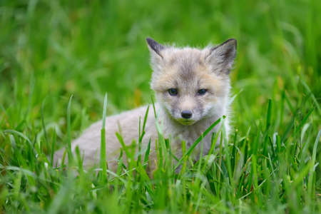 babies: Close up fox cub in grass