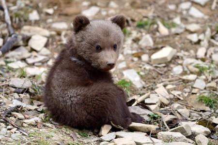 Wild brown bear cub close-up