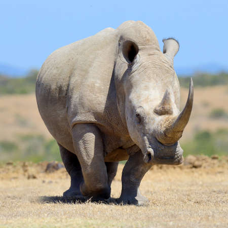 African white rhino, National park of Kenya 免版税图像