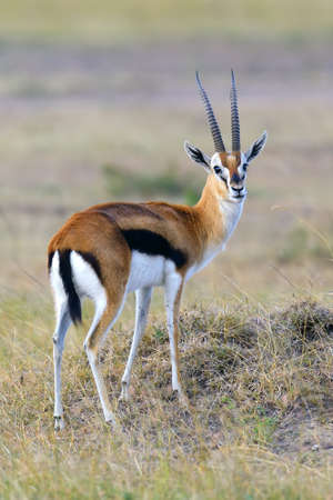 Thomsons gazelle on savanna in National park of Africa