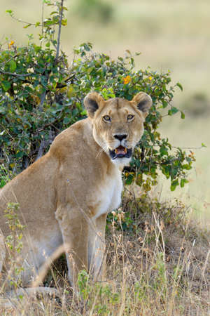 Close lion in National park of Kenya, Africa Lizenzfreie Bilder