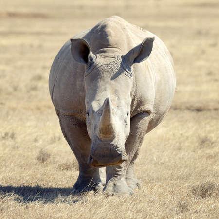African white rhino, National park of Kenya Lizenzfreie Bilder