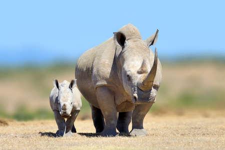 White rhinoceros in the nature habitat, Kenya, Africa. Wildlife scene from nature. Big animal from Afrika